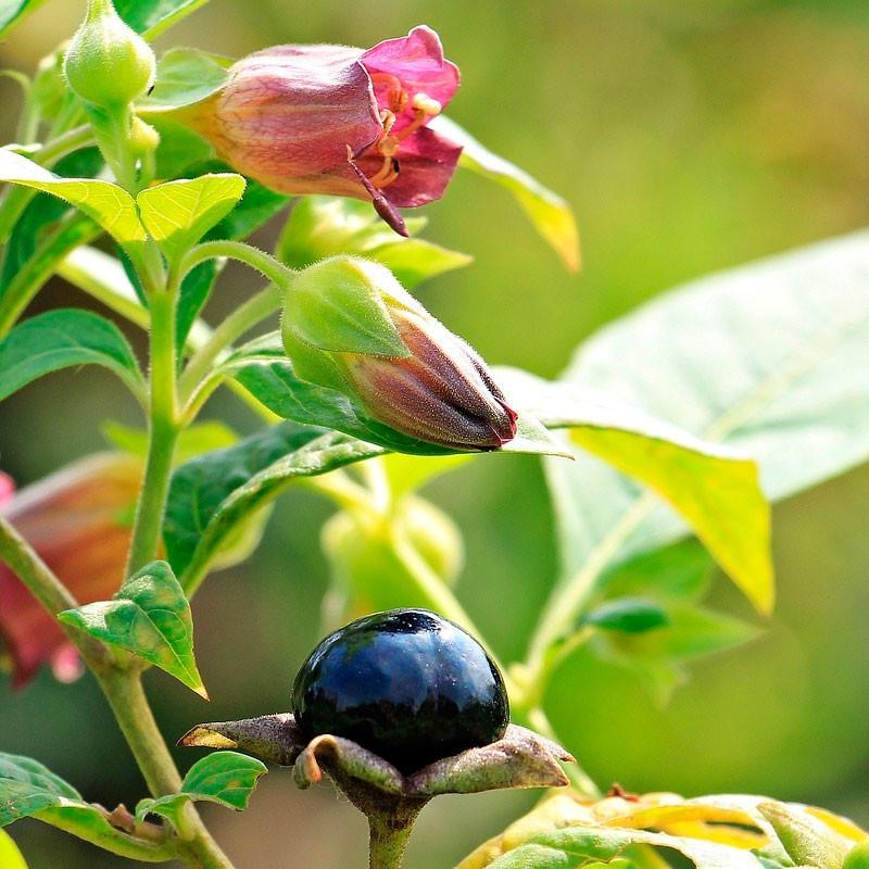 Belladona planta maceta