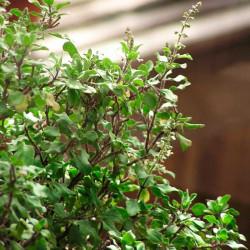 Albahaca sagrada planta