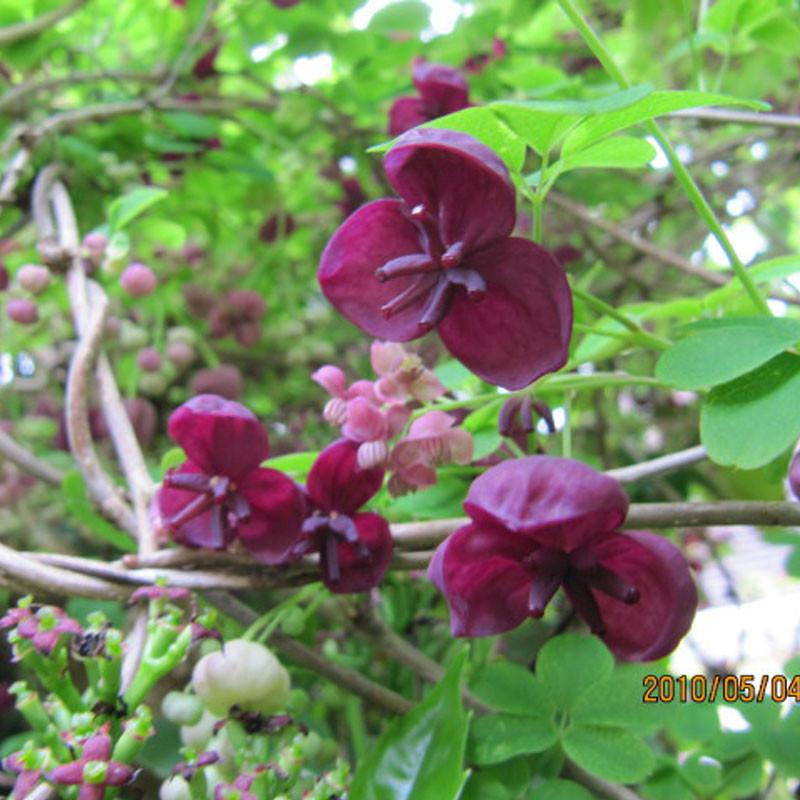 Akebia quinata planta