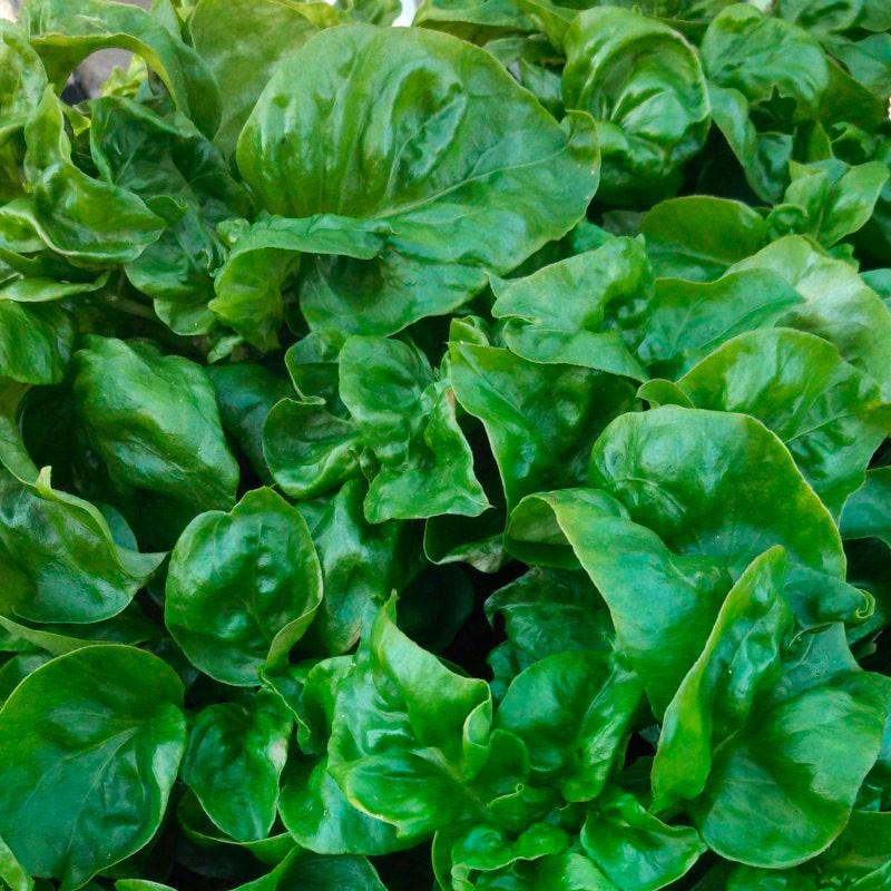 Espinaca brasileña planta