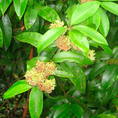 Backhousia citriodora planta