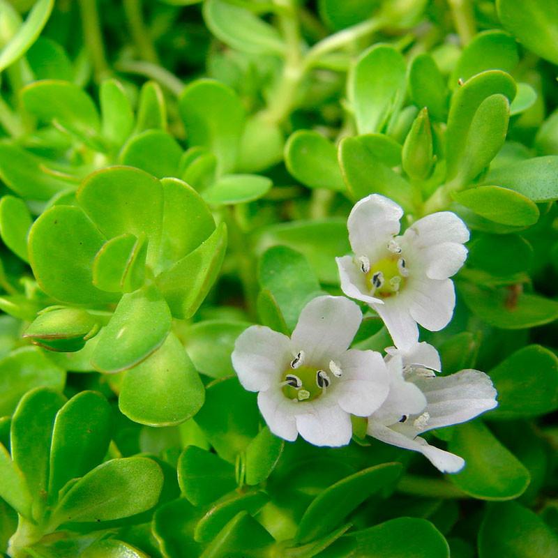 Brahmi planta