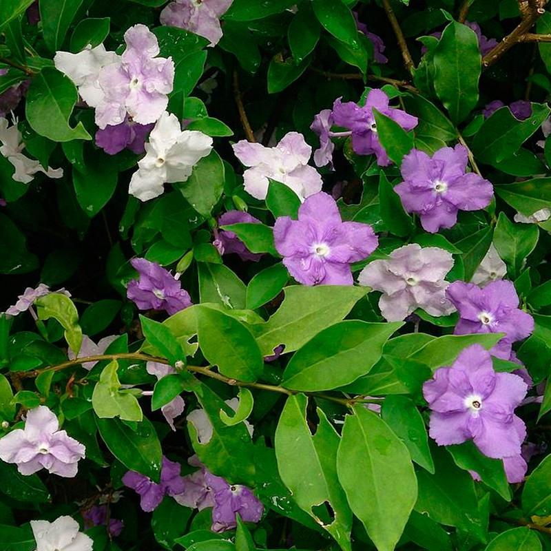 Brunfelsia uniflora planta
