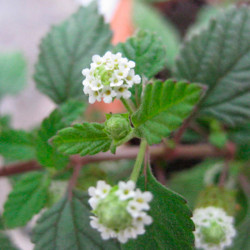 Hierba dulce azteca planta
