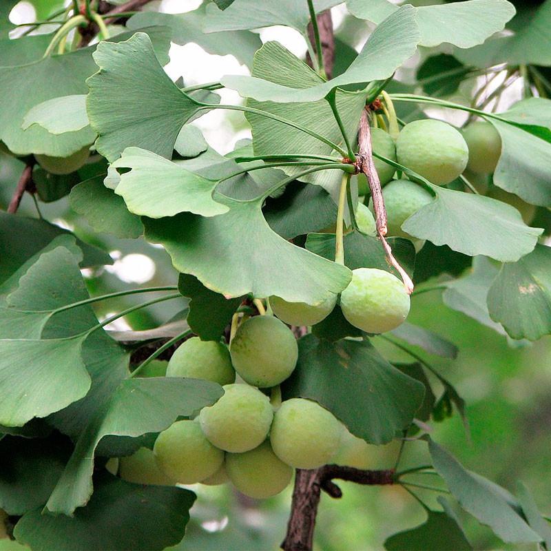 Ginkgo biloba semillas frescas