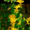 Capuchina amarilla Flor del Canario - Sobre 12 semillas