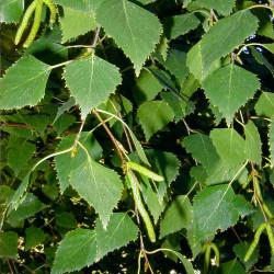 Abedul - Sobre 500 semillas