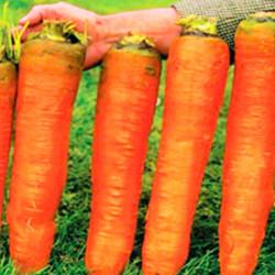 Zanahoria gigante - Sobre...