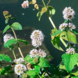 semillas mentha aquatica