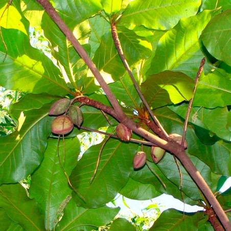 almendro indio semillas frescas