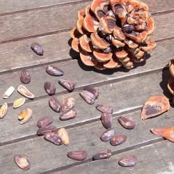 piñas de pino piñonero