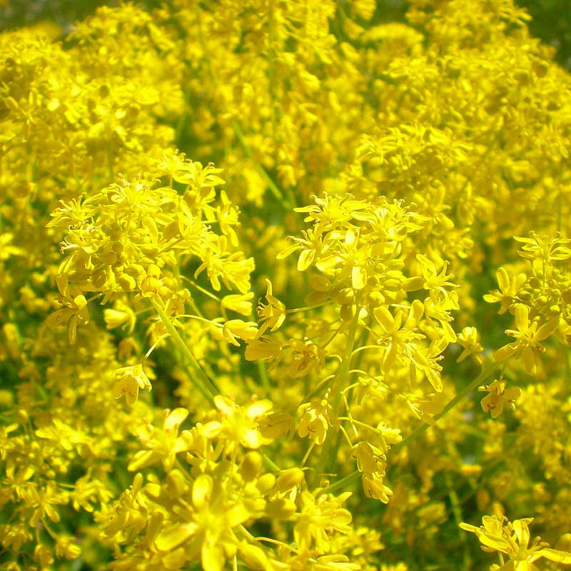 semillas de hierba pastel isatis tinctoria