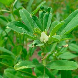 alholva semillas fenogreco