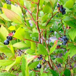 arándano azul comprar planta