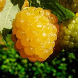 frambueso amarillo planta