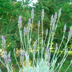 alhucema andalucia semillas