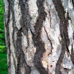 tronco pinus nigra semillas