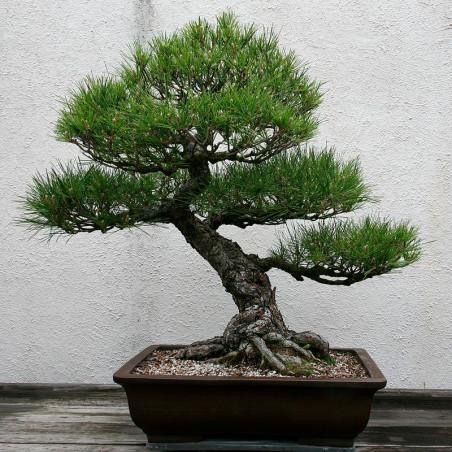 pino negro japones semillas bonsai