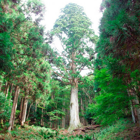 cedro japones semillas