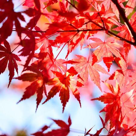 semillas de arce japones