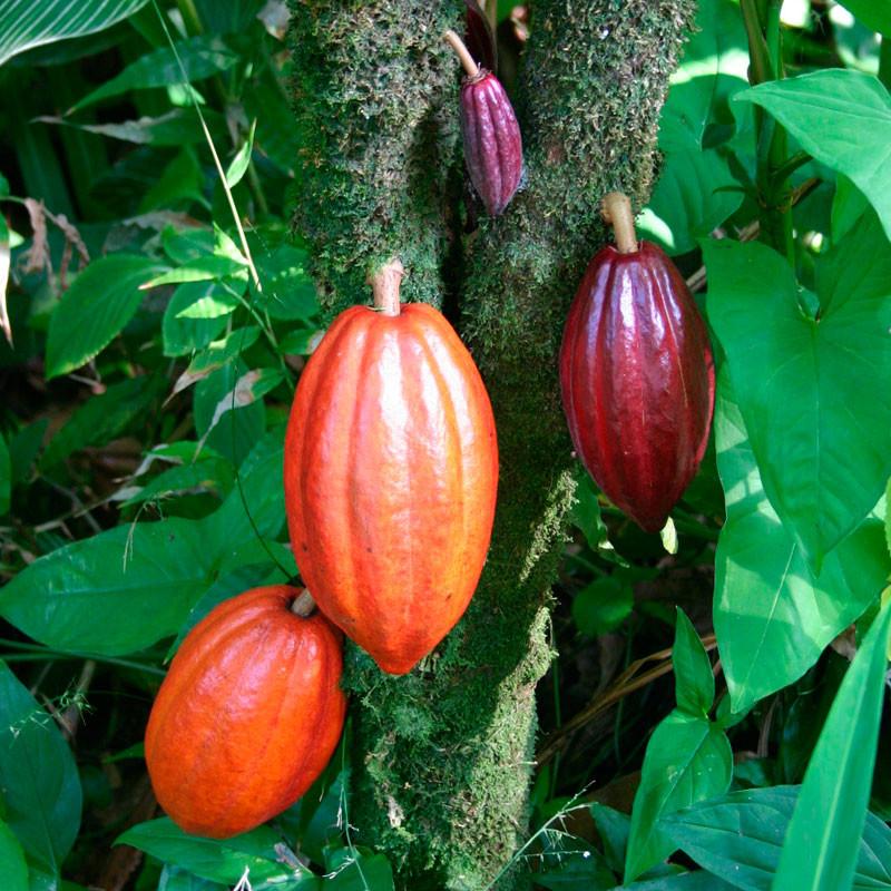semillas frescas de cacao