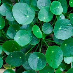 Pilea - 1 planta