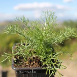 Manzanilla romana plantas