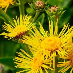 flores amarillas de la planta de helenio