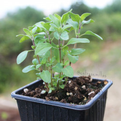 Plantas de Mejorana (Origanum majorana)