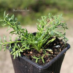 planta de maca negra creciendo en maceta