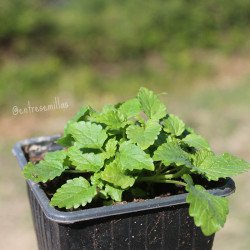 planta de melisa oficinal en maceta