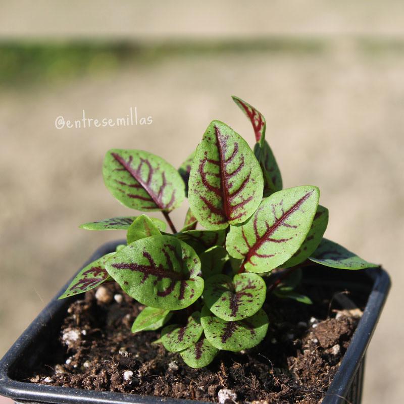 plantas de Acedera roja sanguínea en maceta