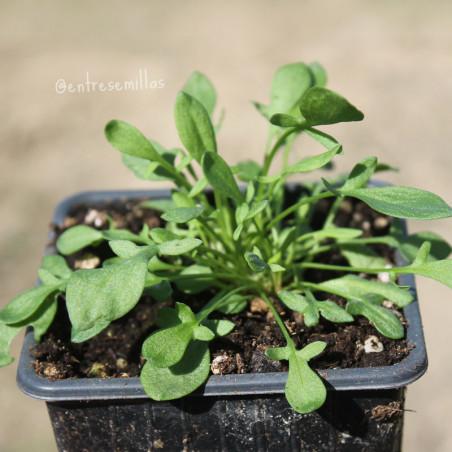 Planta de acederilla