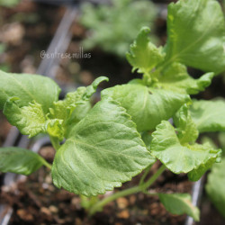 plantas de perilla verde rizada perilla frutescens