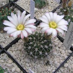 Semillas del cactus Acanthocalycium klimpelianum