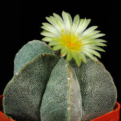 Semillas del cactus Astrophytum myriostigma de flor amarilla