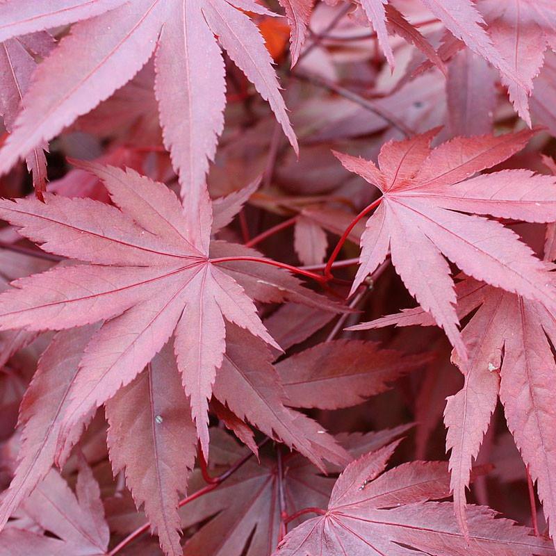 semillas acer palmatum atropurpureum