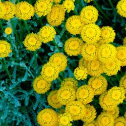 plantas de abrotano hembra