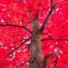 Arce Rojo / Arce de Canadá - Sobre 10 semillas