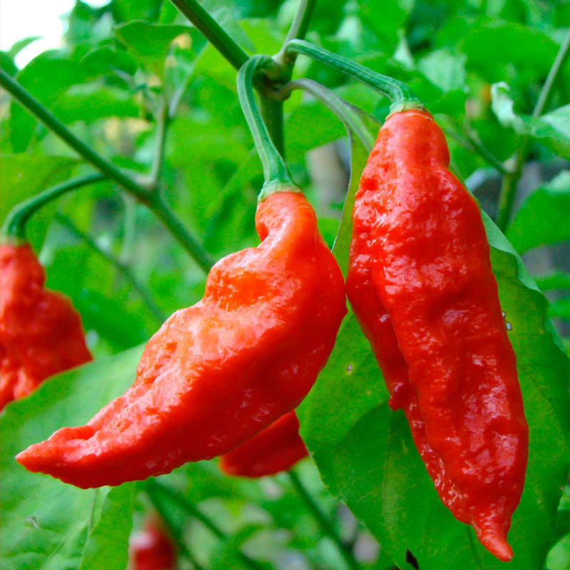 semillas de pimientos bhut jolokia
