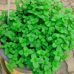 Hierbabuena semillas