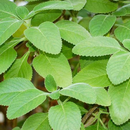 Boldo de la india planta Plectranthus barbatus