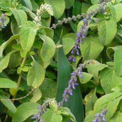 Plectranthus barbatus flor maceta