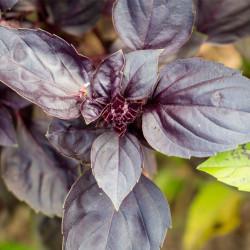 albahaca morada planta