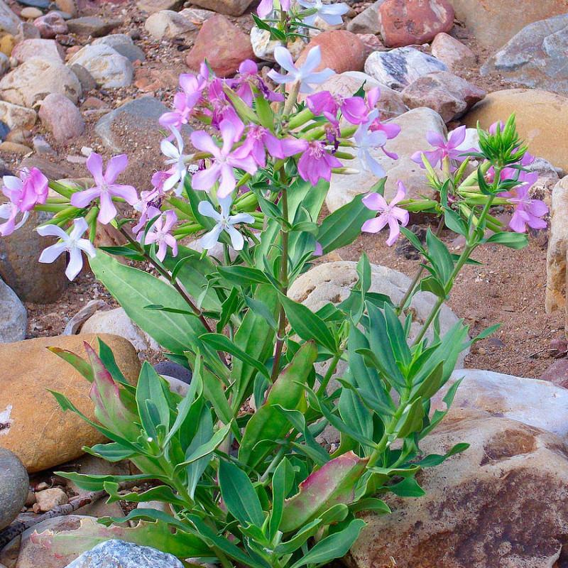 saponaria officinalis semillas