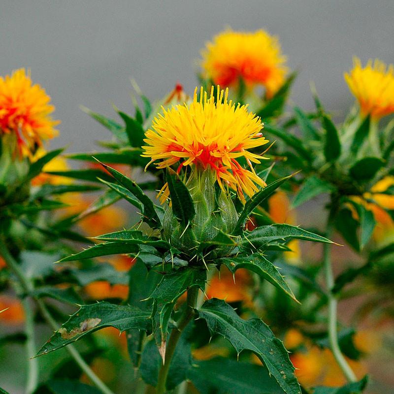 Cártamo planta
