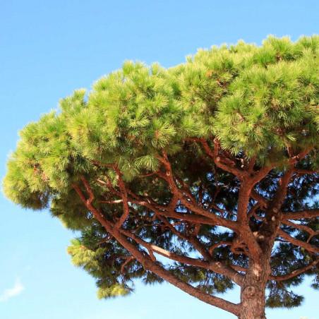 plantas de pino piñonero