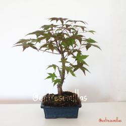 bonsai arce japones deshojo
