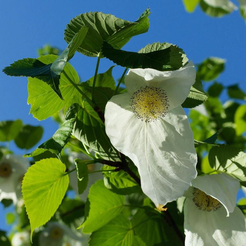 Árbol de los pañuelos