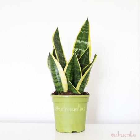 sansevieria trifasciata laurentii planta